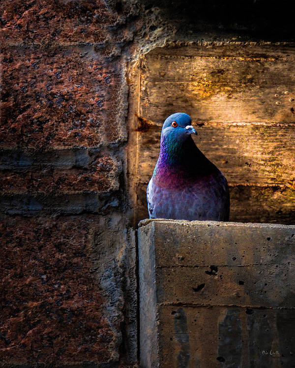 Pigeon Poster featuring the photograph Pigeon Of The City by Bob Orsillo