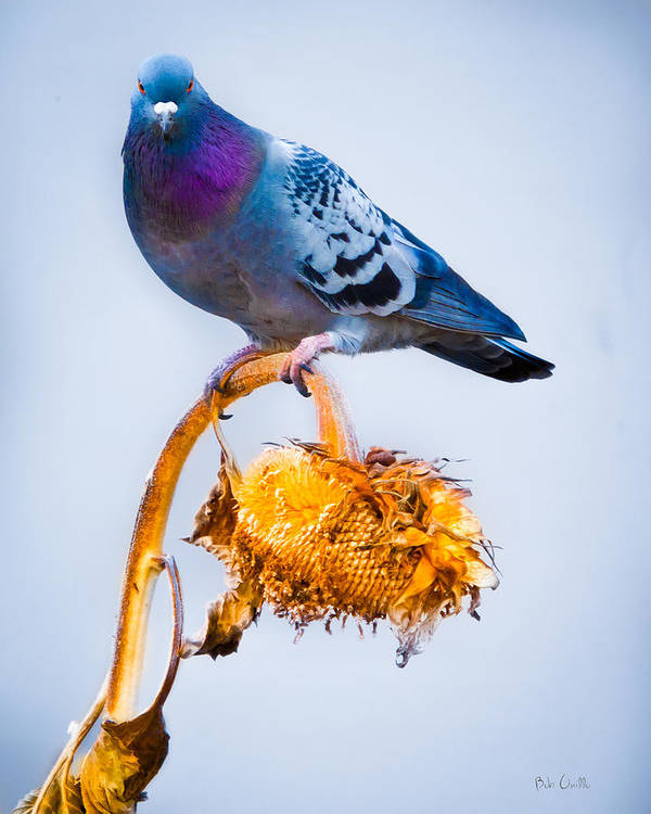 Pigeon Poster featuring the photograph Pigeon On Sunflower by Bob Orsillo