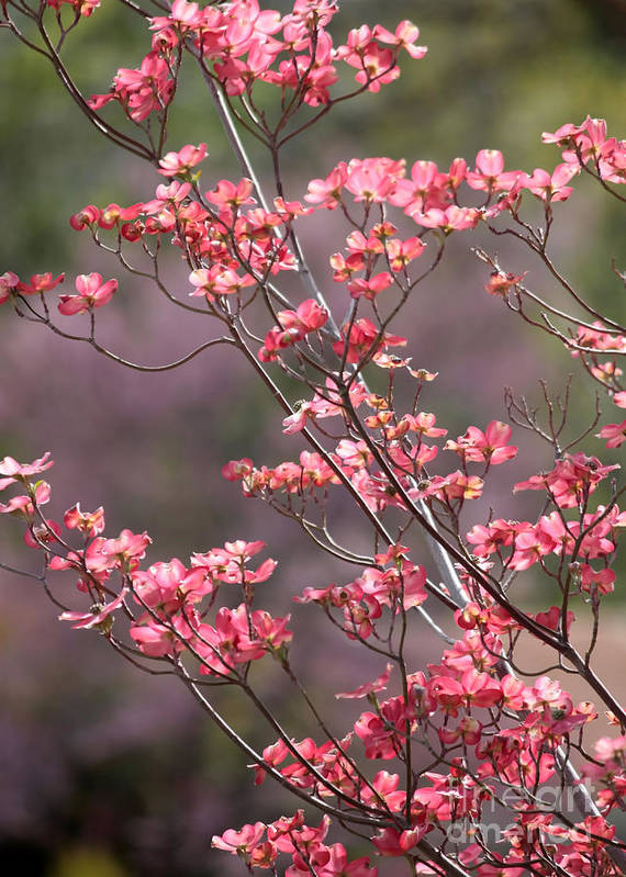 Spring Poster featuring the photograph Pink And Purple Spring Trees by Carol Groenen