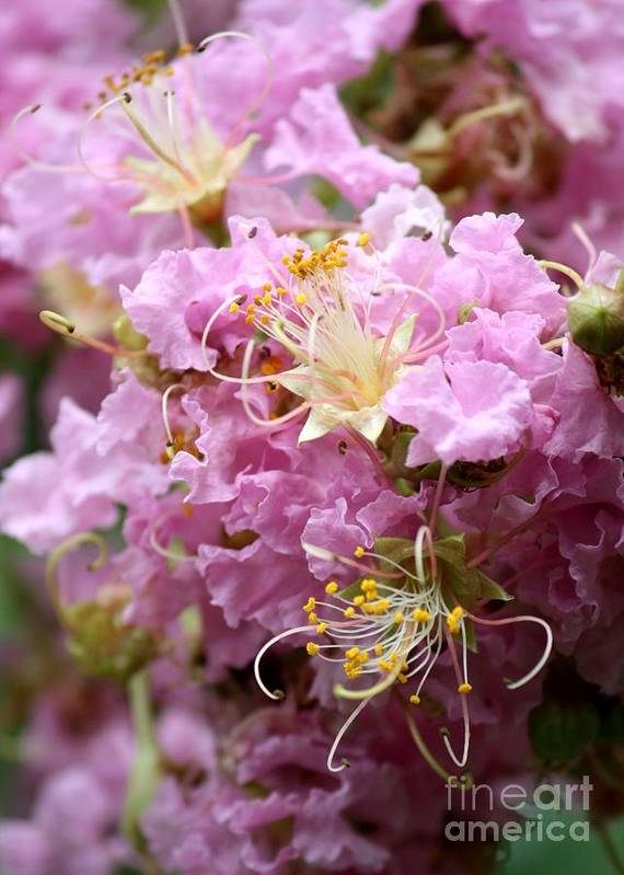 Lagerstroemia Poster featuring the photograph Pink Crepe Myrtle Closeup by Carol Groenen