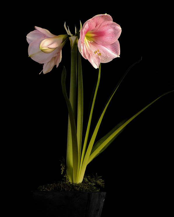 Flower Poster featuring the photograph Pink Diamond Amaryllis by Claudio Bacinello