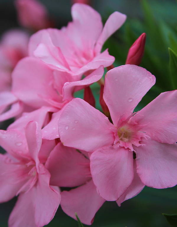 Oleander Poster featuring the photograph Pink Oleander 6 by Cathy Lindsey