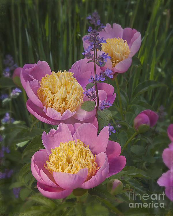 Flowers Pink Yellow Peonies Garden Spring Poster featuring the photograph Pink Peonies In My Garden by Ann Jacobson