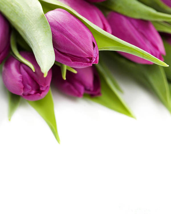 Pink Tulip Poster featuring the photograph Pink Tulip by Boon Mee