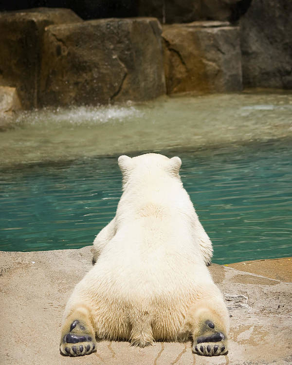 3scape Photos Poster featuring the photograph Playful Polar Bear by Adam Romanowicz
