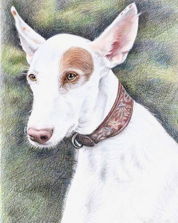 Dog Poster featuring the drawing Podenco Ibicenco by Nicole Zeug