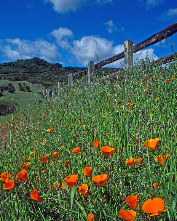 Landscapes Poster featuring the photograph Poppies And The Fence by Kathy Yates