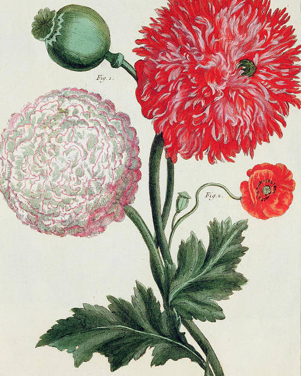 Botany Poster featuring the painting Poppy by Basilius Besler