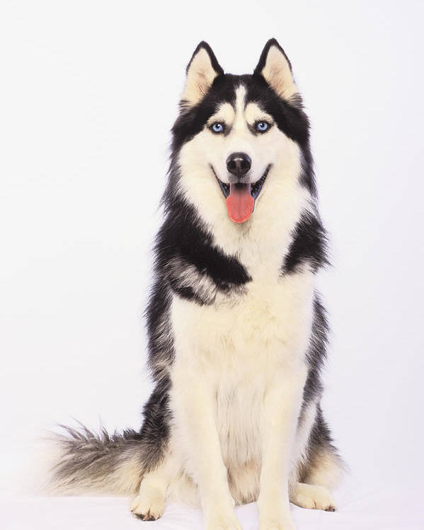 White Background Poster featuring the photograph Portrait Of A Siberian Huskybritish by Thomas Kitchin & Victoria Hurst