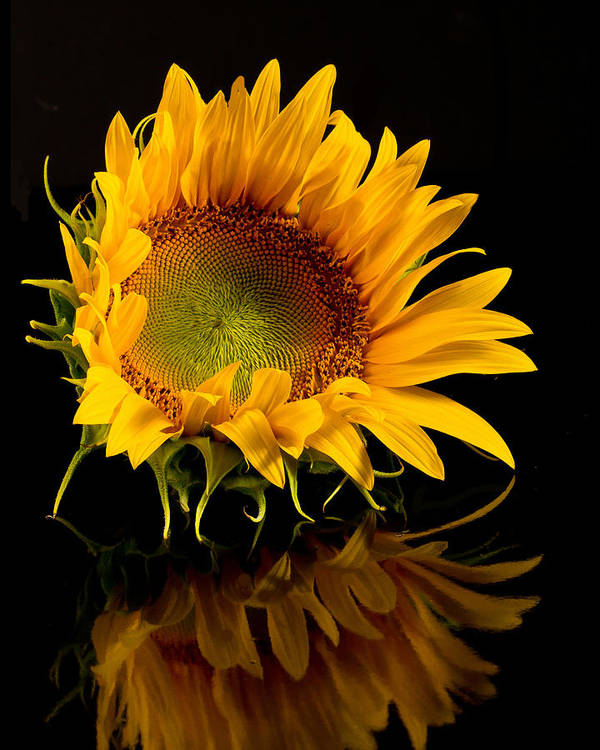 Sunflower Poster featuring the photograph Portrait Of A Sunflower by Ness Welham
