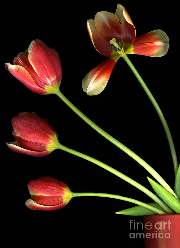 Scanography Poster featuring the photograph Pot Of Tulips by Christian Slanec