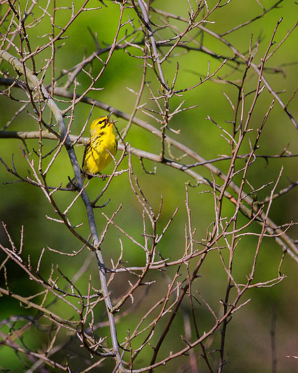 Warbler Poster featuring the photograph Prairie Warbler by Bill Wakeley