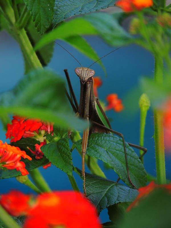 A Praying Mantis Poster featuring the photograph Praying Mantis by Raymond Salani III