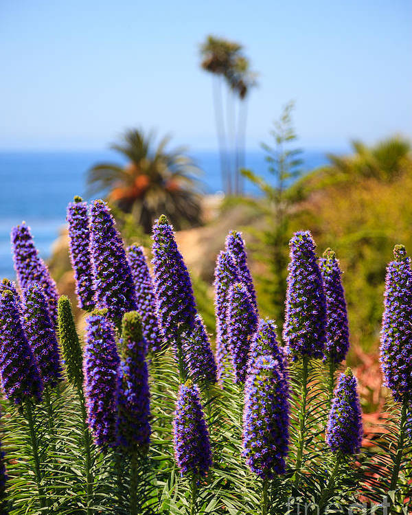 America Poster featuring the photograph Pride Of Madeira Flowers In Orange County California by Paul Velgos
