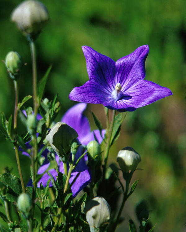 Growth; Wildflower; Beauty In Nature; Purple; No People; Vertical; Outdoors; Day; Close-up; Nature; Balloon Flower Poster featuring the photograph Purple Balloon Flower by Anonymous