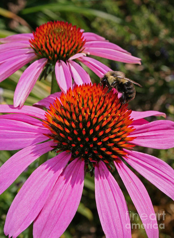 Flower Poster featuring the photograph Purple Cone Flower With Bee by Kathy DesJardins