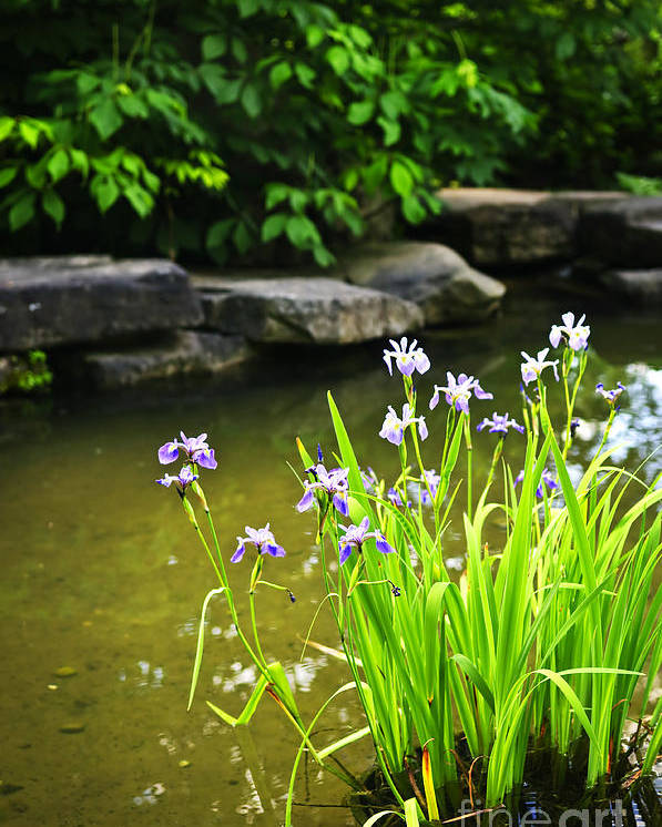 Garden Poster featuring the photograph Purple Irises In Pond by Elena Elisseeva