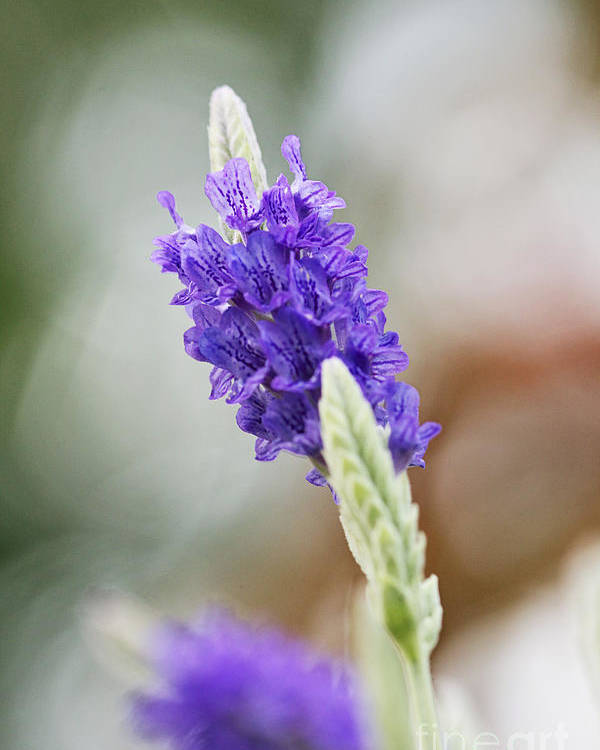 Macro Poster featuring the photograph Purple Sage by Pamela Gail Torres
