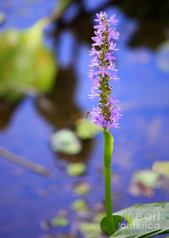 Pickerelweed Poster featuring the photograph Purple Swamp Flower by Carol Groenen