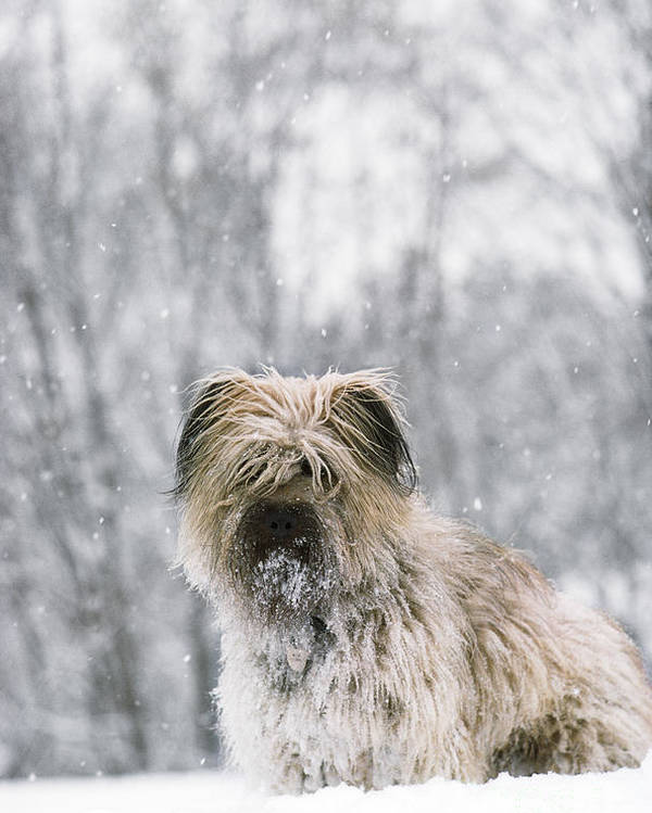 Pyrenean Shepherd Dog Poster featuring the photograph Pyrenean Shepherd Dog by Jean-Paul Ferrero