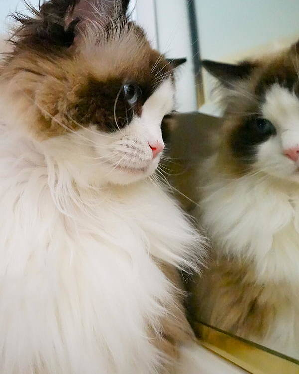 Cat Poster featuring the photograph Ragdoll Reflections by Tracey McQuain