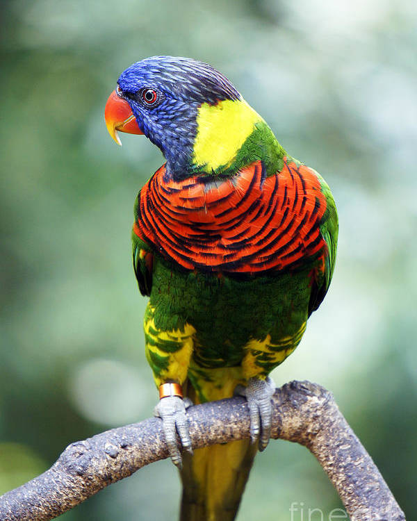 Bird Poster featuring the photograph Rainbow Lorikeet by Jenny Zhang
