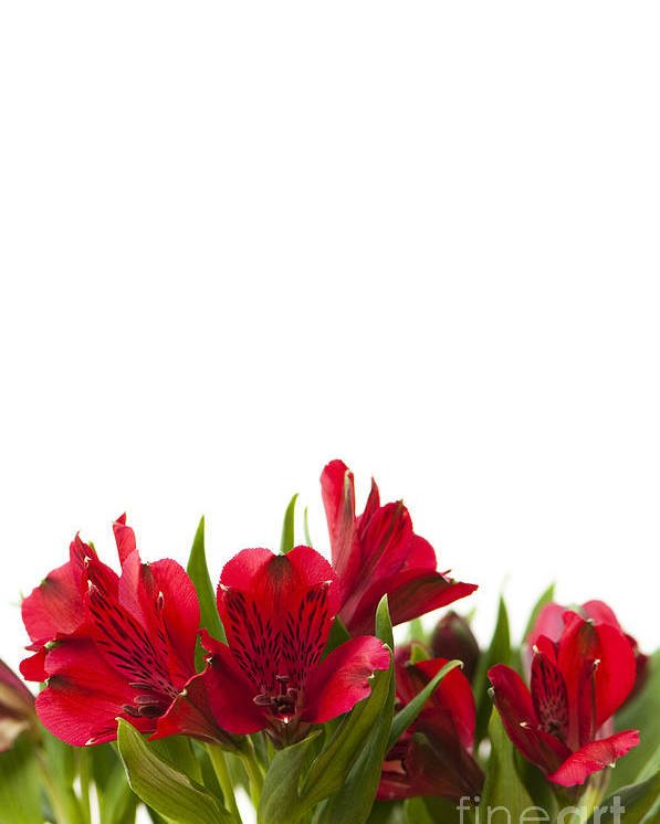 Alstroemeria Poster featuring the photograph Red Alstroemeria by Anne Gilbert