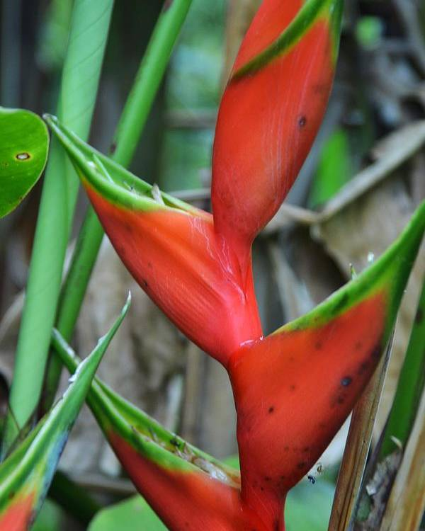 Heliconia Plant Poster featuring the photograph Red And Green Heliconia by Stephanie Guinn