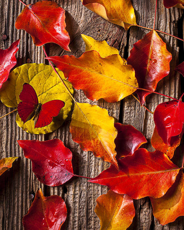 Red Poster featuring the photograph Red Butterfly In Autumn Leaves by Garry Gay
