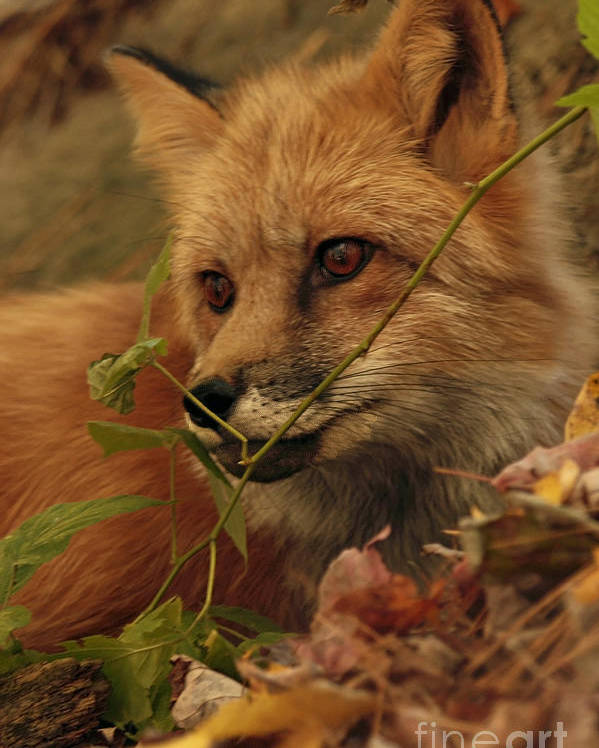 Red Poster featuring the photograph Red Fox In Autumn Leaves Stalking Prey by Inspired Nature Photography Fine Art Photography