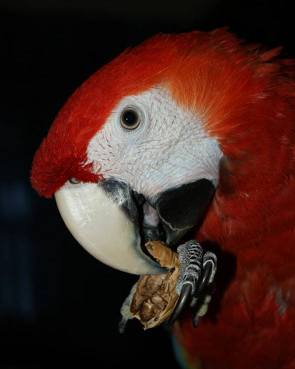 Red Macaw Poster featuring the photograph Red Macaw by Ernie Echols