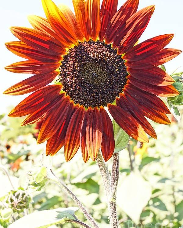 Agriculture Poster featuring the photograph Red Sunflower Glow by Kerri Mortenson
