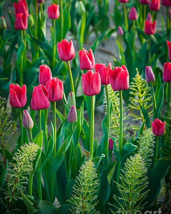 America Poster featuring the photograph Red Tulips In Skagit Valley by Inge Johnsson