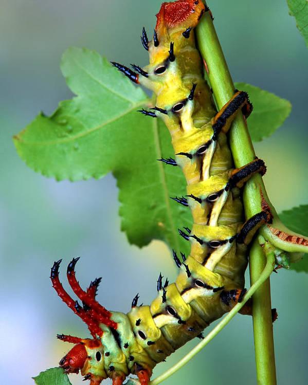 Regal Poster featuring the photograph Regal Moth Caterpillar by Robert Jensen