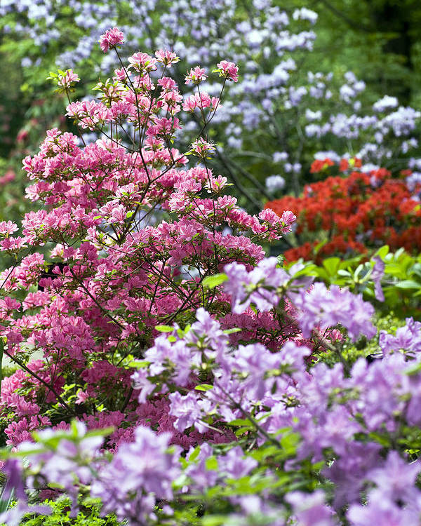 Rhododendron Garden Poster featuring the photograph Rhododendron Garden by Frank Tschakert