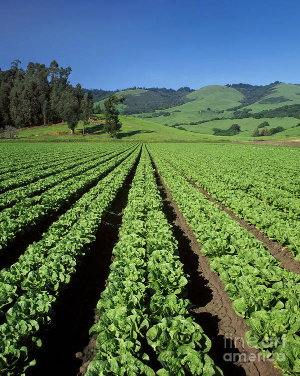 Greens Poster featuring the photograph Romaine Lettuce Field by Craig Lovell