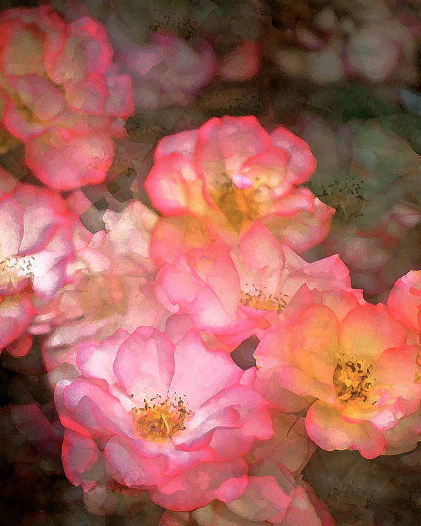 Floral Poster featuring the photograph Rose 212 by Pamela Cooper