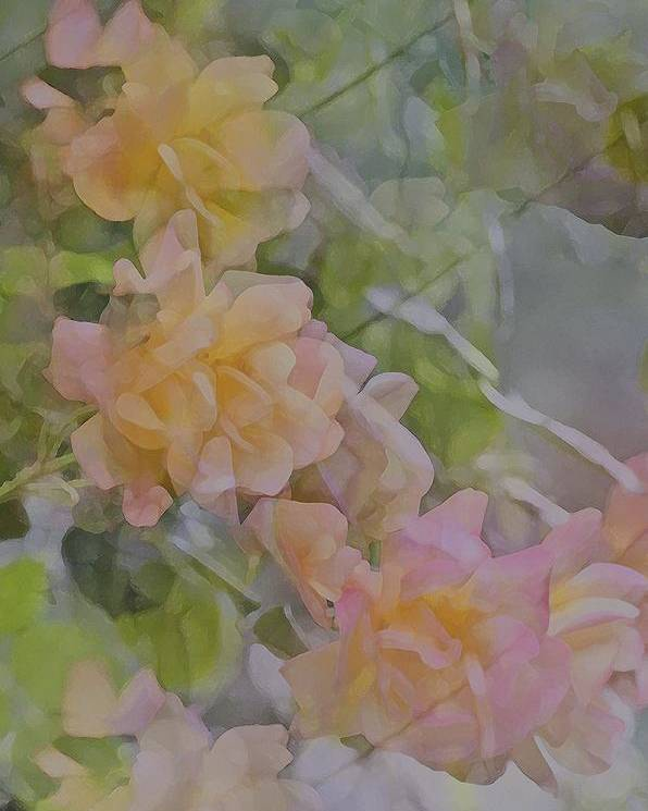 Floral Poster featuring the photograph Rose 213 by Pamela Cooper