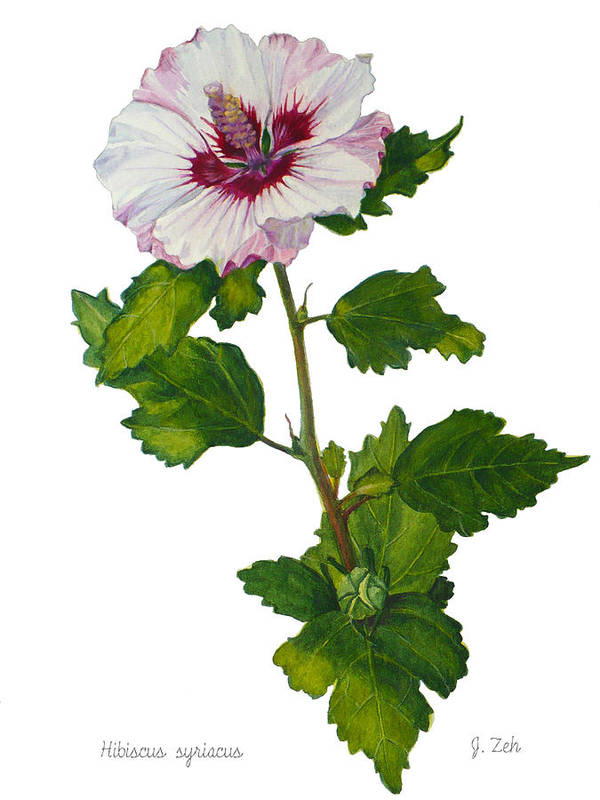 Rose Of Sharon Hibiscus Syriacus Poster By Janet Zeh