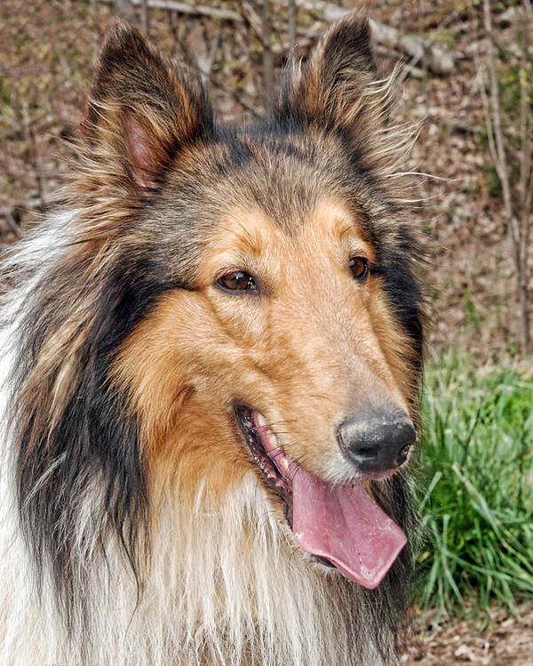 Kenny Francis Poster featuring the photograph Rough Collie by Kenny Francis