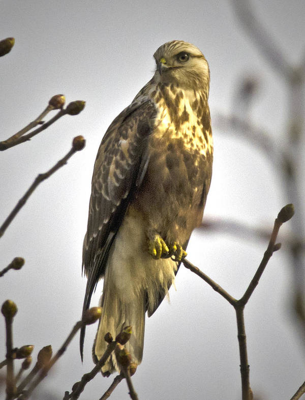 Bird Of Prey Poster featuring the photograph Rough Legged Hawk by Rob Mclean