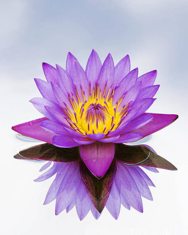 Sacred indian blue lotus flower poster by tim gainey india poster featuring the photograph sacred indian blue lotus flower by tim gainey mightylinksfo