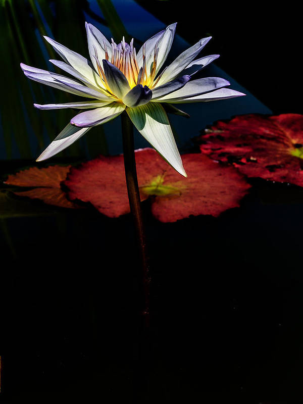 Flowers Poster featuring the photograph Sacred Water Lilies by Louis Dallara