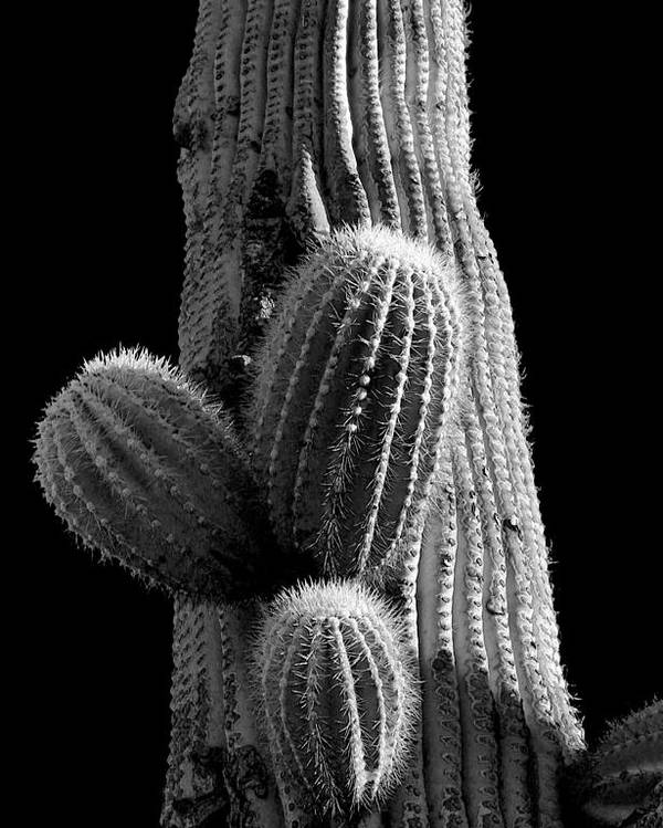 Desert Poster featuring the photograph Saguaro 5 by Jim Painter