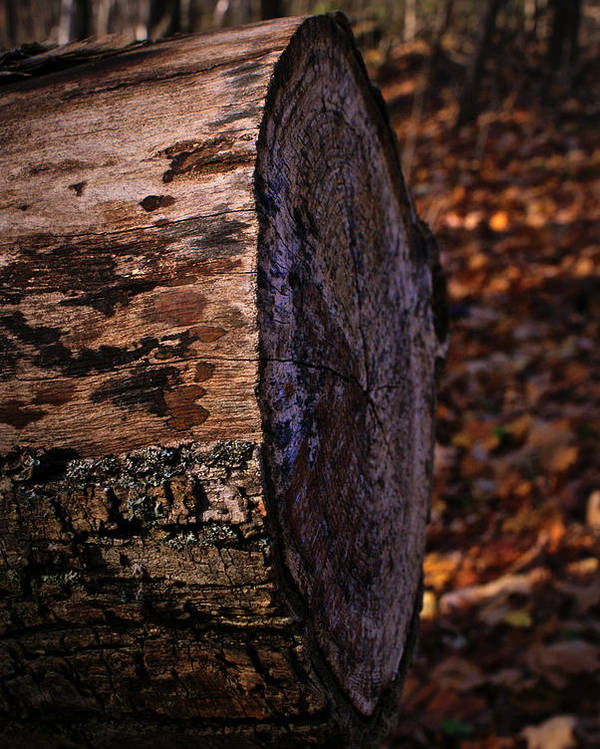 Log Poster featuring the photograph Sawed Logg by Amanda Stross