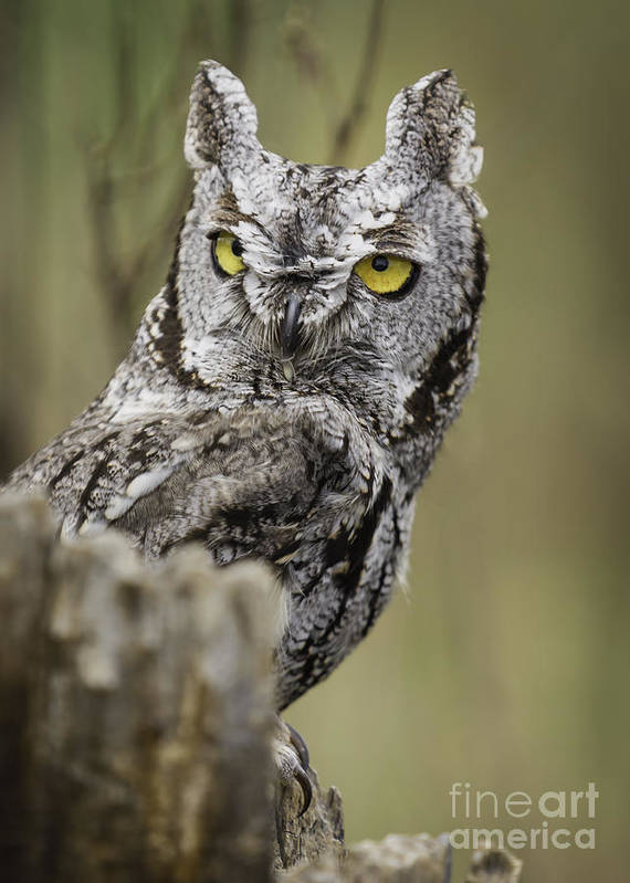 Bird Of Prey Poster featuring the photograph Screech Owl by Michael Goodell