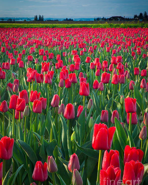 America Poster featuring the photograph Sea Of Red Tulips by Inge Johnsson