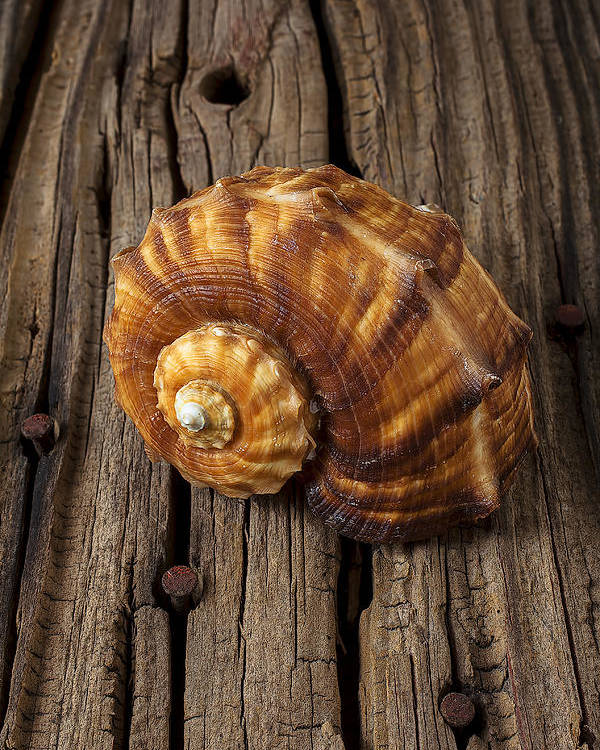 Sea Shell Poster featuring the photograph Sea Snail Shell On Old Wood by Garry Gay