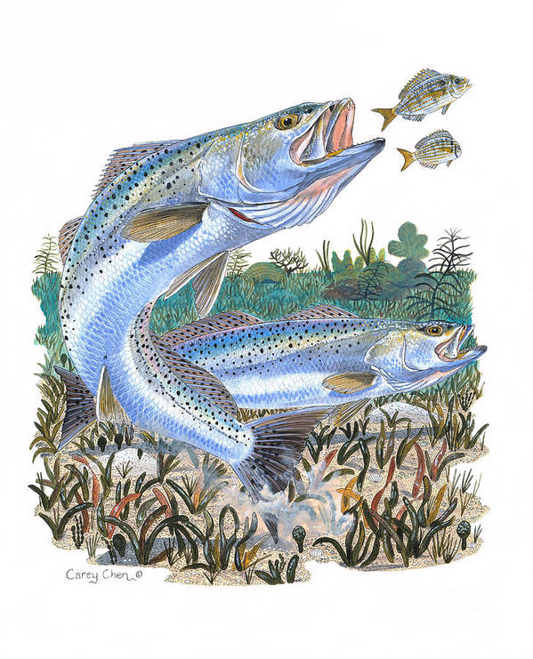 Trout Poster featuring the painting Sea Trout by Carey Chen