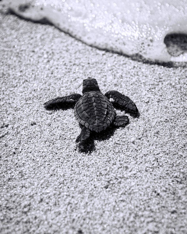 Baby Loggerhead Poster featuring the photograph Sea Turtle by Sebastian Musial
